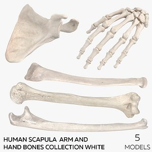 3D Human Scapula  Arm and Hand Bones Collection White - 5 models