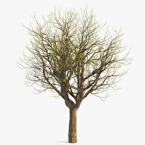 3D old pistachio tree