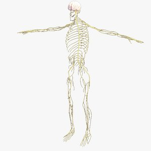 Realistic Nervous System Human Male Anatomy 3D