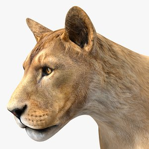 3D Young Lion Rigged for Maya model