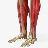 Human Legs Muscle Bone Anatomy