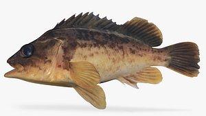 Kelp Rockfish 3D model