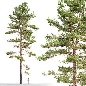 tree sylvestris 18 3D model