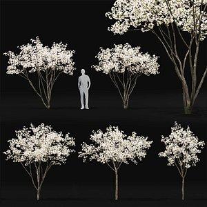 3D apple trees hybridus flowering