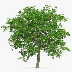 walnut tree plant nut 3D