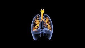 3D model Human Lungs Blue and Orange Transparent