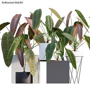 3D model Anthurium Veitchii