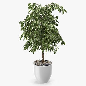 3D Ficus Benjamina Variegated Weeping Fig