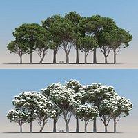 10-10 Pinus Pinea