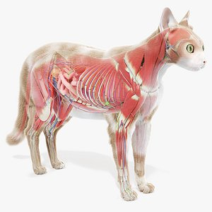 cat anatomy static model