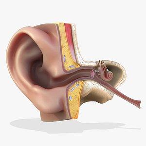 ear anatomy section 3D model