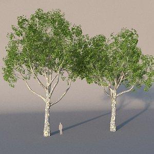 3D model XfrogPlants American Sycamore - Platanus Occidentalis