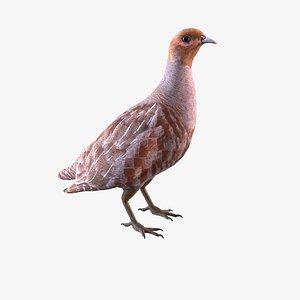 3D Grey Partridge