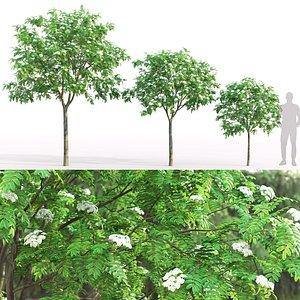 3D Rowan flowering 04