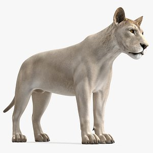 3D Young White Lion Rigged for Cinema 4D