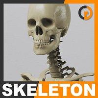 Human Skeleton - Anatomy