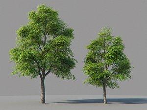 XfrogPlants Kentucky Coffeetree - Gymnoclades Dioicus 3D model