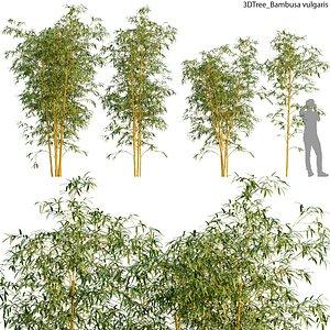 Bambusa vulgaris model