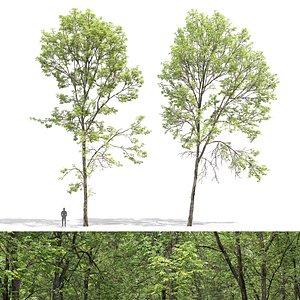 Ash-tree 03 3D model