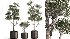 Olive tree in a rusty flowerpot for the interior 991 3D model