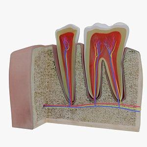 3D model teeth section