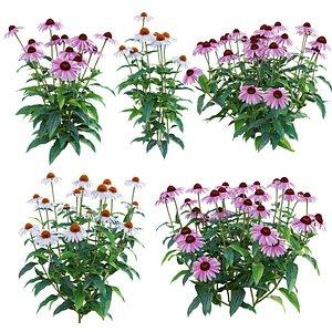 3D Echinacea purpurea model