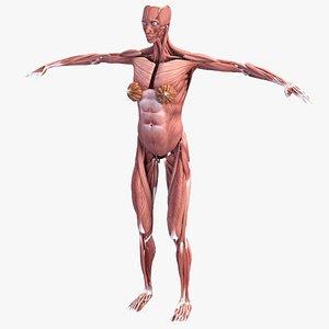 3D Realistic Female  Muscular System Human Anatomy model