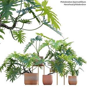 Philodendron bipinnatifidum - Philodendron selloum Split model