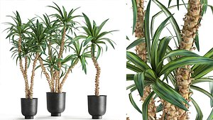 3D Dracaena in a flowerpot for the interior 1007