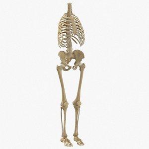 3D human rib cage spine model