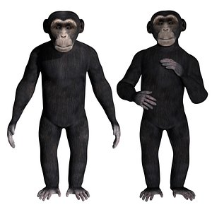 3D fully rigged low poly Chimpanzee