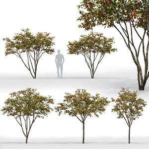 3D apple trees hybridus