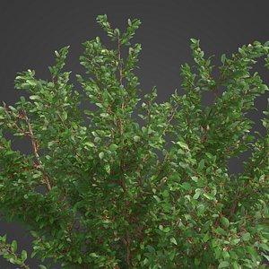 2021 PBR African Boxwood Collection - Myrsine Africana 3D model