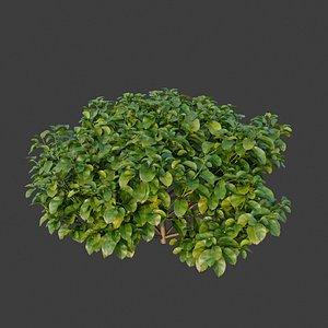 3D XfrogPlants Rubber Fig - Ficus Elastica model
