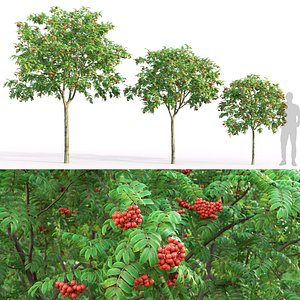 rowan trees model