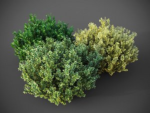 XfrogPlants Spindles - Euonymus Fortunei 3D model