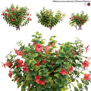 Hibiscus rosa 02 3D model