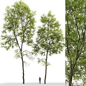 tree ash-tree 3D model