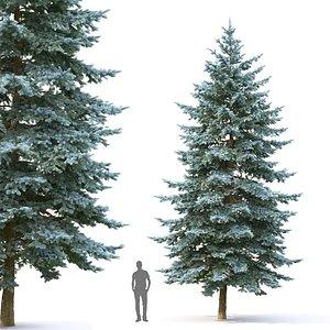 3D model spruce tree pungens 05