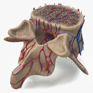 lumbar vertebra model