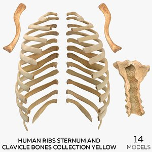 3D Human Ribs Sternum and Clavicle Bone Collection Yellow - 14 models