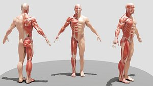 3D male ecorche body model