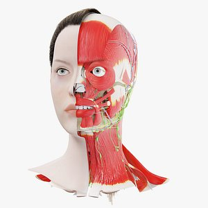 3D Human Female Head Anatomy