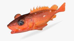 3D model starry rockfish fish