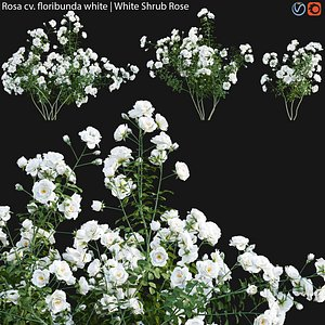 Rosa floribunda white - rose 02 3D model