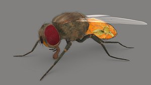 3D Housefly Reproductive system