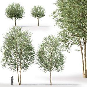 willow trees alba chermesina 3D