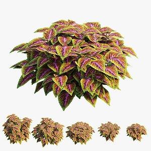 3D coleus plant model