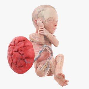 Fetus Anatomy Week 29 Animated 3D