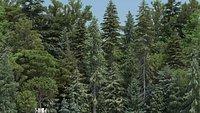 80 Summer Pine Trees